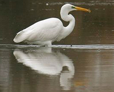 Great White Egret - Egretta alba
