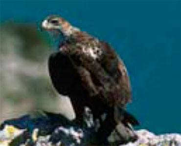Àguila perdiguera - Hieraaetus fasciatus