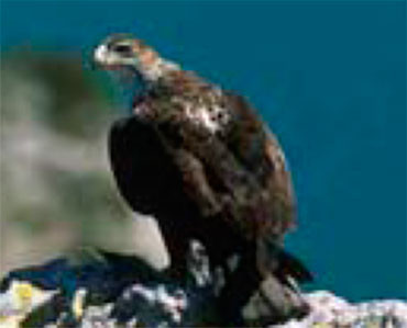Aigle de Bonelli - Hieraaetus fasciatus