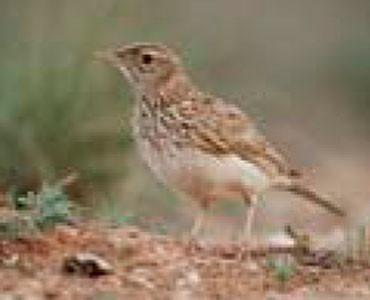 Alosa becuda - Chersophilus duponti
