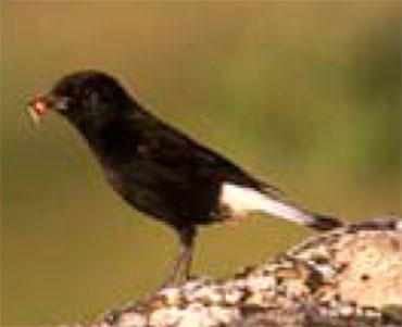 Còlit negre - Oenanthe leucura
