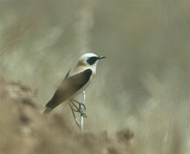 Black-eared Wheatear - Oenanthe hispanica