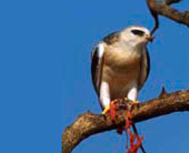 Black-winged Kite - Elanus caeruleus