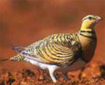 Pint-tailed Sandgrouse - Pterocles alchata