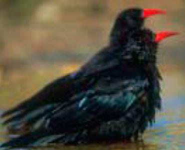 Gralla de bec roig - Pyrrhocorax pyrrhocorax