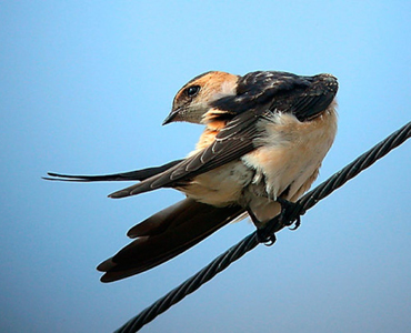 Red-rumped Swallow - Cecropis daurica
