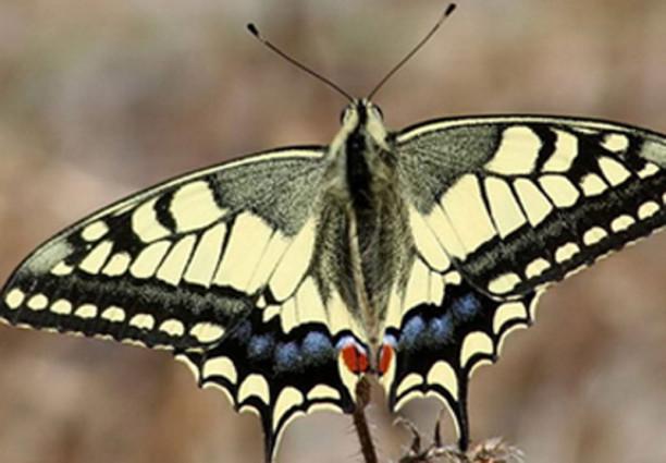 Sabies que a Pujalt hi ha una papallona única al món?