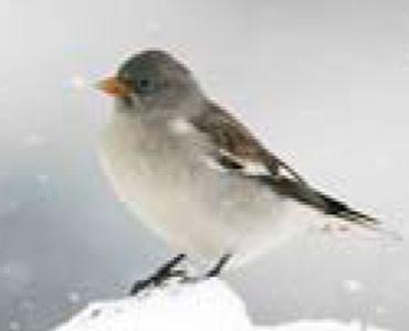 Pardal d'ala blanca - Montifringilla nivalis