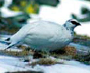 Perdiu blanca - Lagopus muta