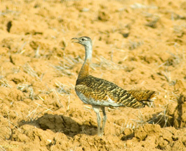 Great Bustard - Otis tarda