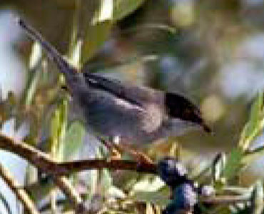 Tallarol capnegre - Sylvia melanocephala