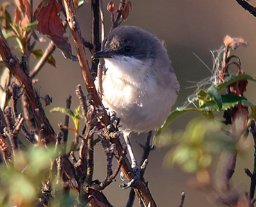 Orphean Warbler - Sylvia hortensis