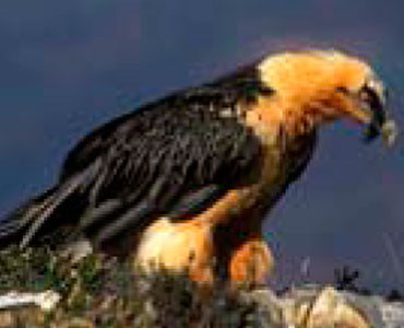 Bearded Vulture - Gypaetus barbatus