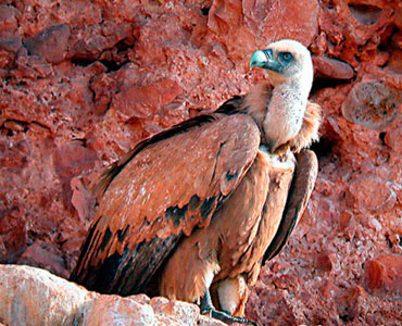 Voltor comú - Gyps fulvus