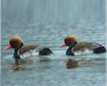 Red-crested Pochard - Netta rufina