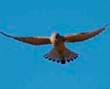 Xoriguer petit - Falco naumanni